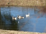 or the gaggle of geese living on the big pond next door!