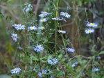 Blue Marguerites:  gone