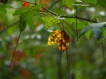Fall will properly arrive after our first frost.  In the meantime the Gum, pine, and Sumac conspire to entertain.