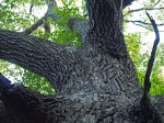 The oak has always been here, massive, yet I only just noticed it .