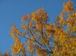 Pin Oak plays gold against a clear blue sky.