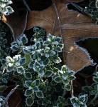 and oak leaves frozen in thyme.