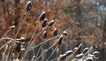 rudbeckia seedheads disguised as hedgehogs,