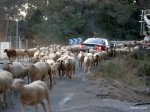 goats-and-car