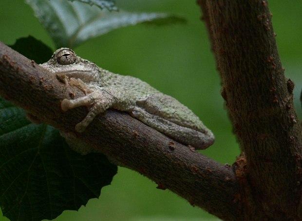 Grey-Tree-Frog