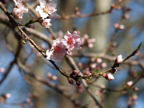 Peach-Promise-ll