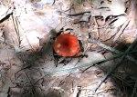 A chewed red mushroom,