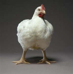 white-broiler-chicken