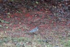 And, all were throwing the berries to the ground!