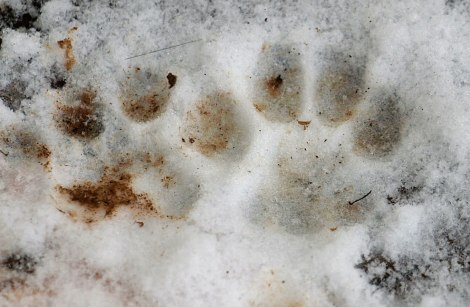 Frozen kitty prints on the steps.