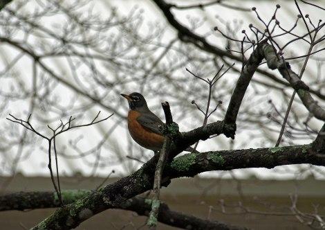 American Robin Redbreast