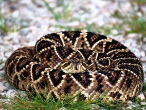 Diamondback snake